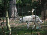 北極の白いオオカミ カッケー♪