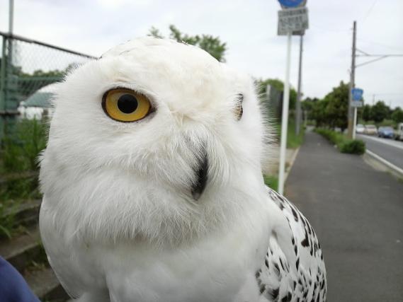 白フクロウ2
