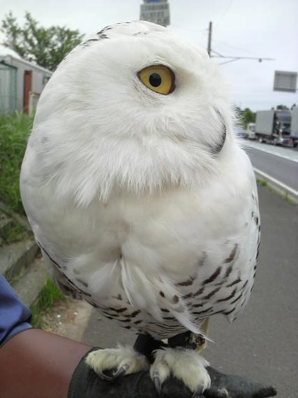 白フクロウ1