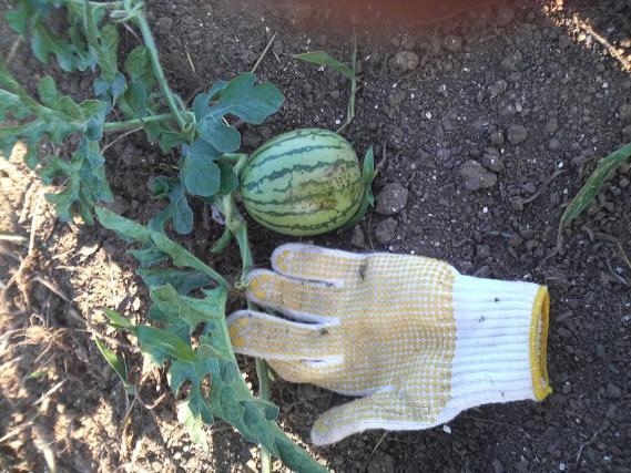 野菜147