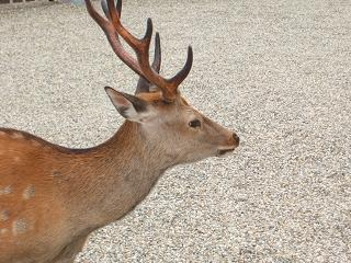 奈良興福寺の鹿