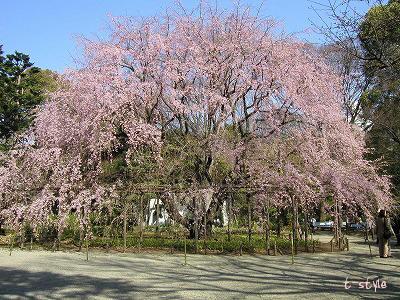 みごとに咲き乱れる枝垂桜