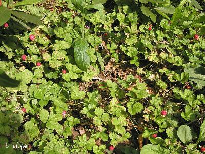 ヘビイチゴの群生