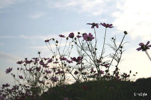 夕暮れ秋桜