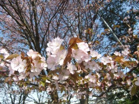 桜ココ 036