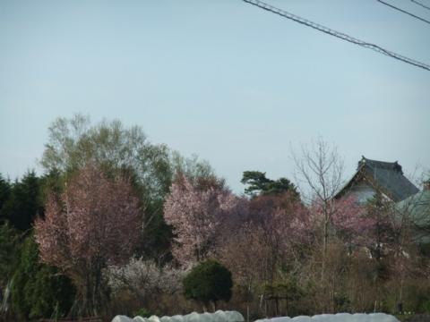 桜ココ 064