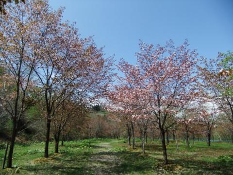 桜公園 099