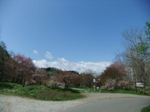 桜公園 089