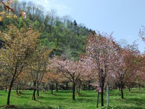 桜公園 107