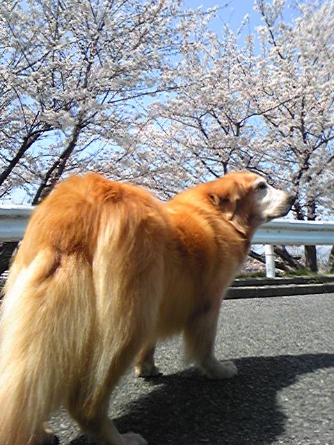 キャンディーちゃん お花見2