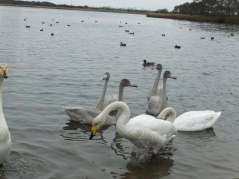 ウトナイ湖 029