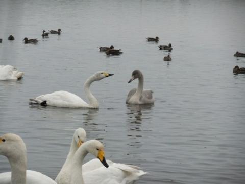 ウトナイ湖 208