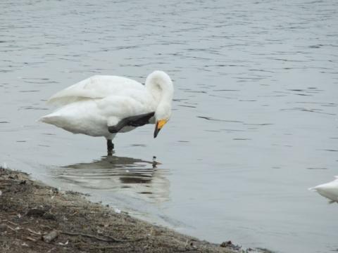 ウトナイ湖 112