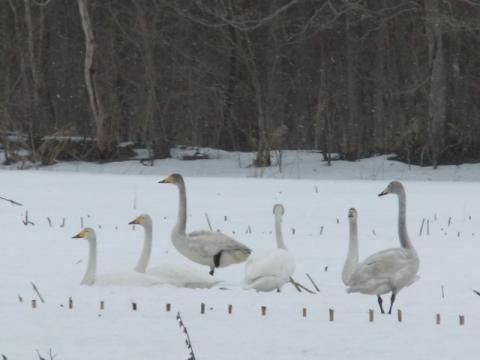 2011.04.3白鳥 109