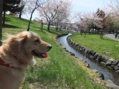 2011.05.15cc桜 011