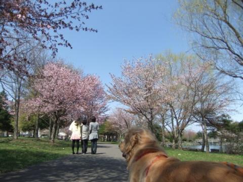 2011.05.15cc桜 081