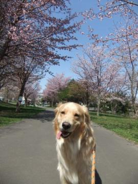 2011.05.15cc桜 062