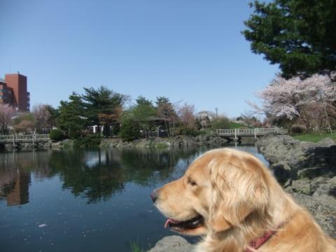 2011.05.15cc桜 118