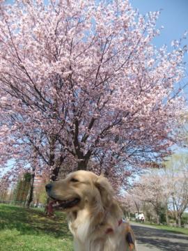 2011.05.15cc桜 089