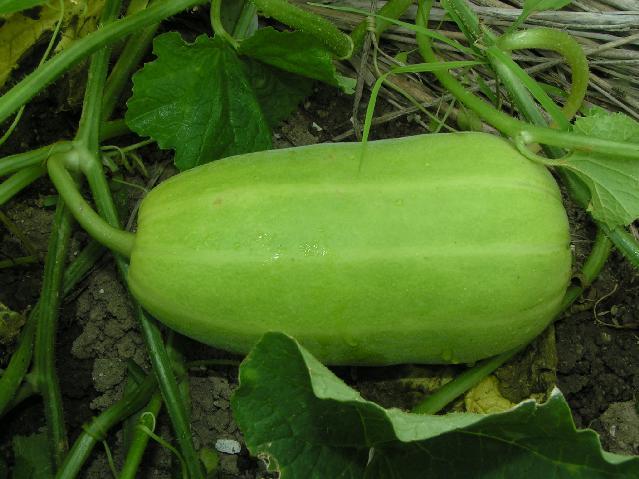 甘瓜の若い果実