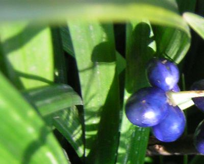 青い実200602-41