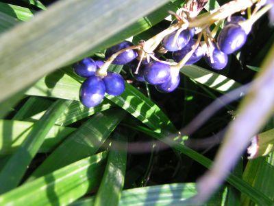 青い実200602-43