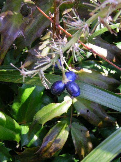 青い実200602-44