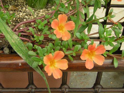 オレンジ花 0827