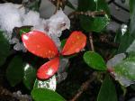 雪に木の芽