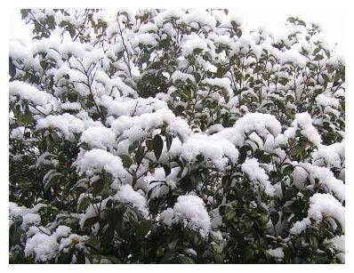 椿にも雪♪