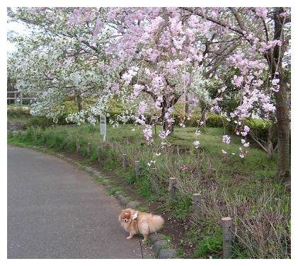 またまた桜♪