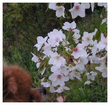 桜とクゥ♪