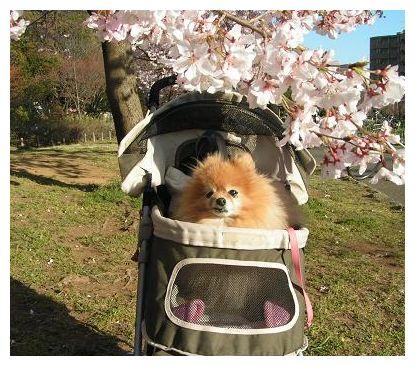 クゥと桜♪