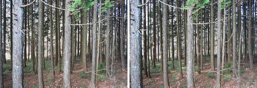 ステレオ人工林