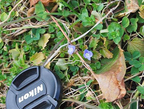 咲き始めたオオイヌノフグリ