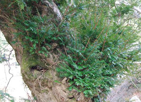 カヤの木の根本