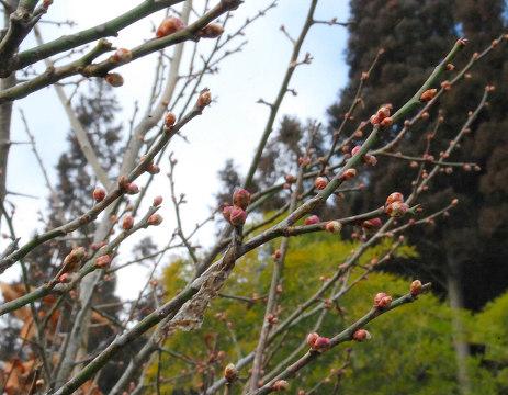 膨らんだ梅のつぼみ