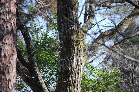 木に止るエナガ
