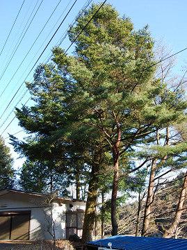 カヤの大木