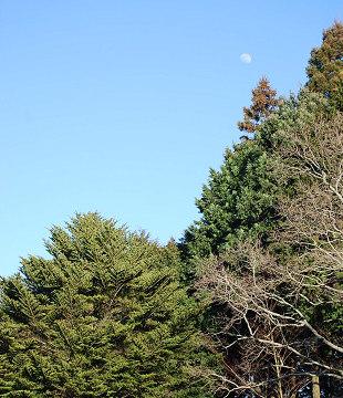 モミの木と月