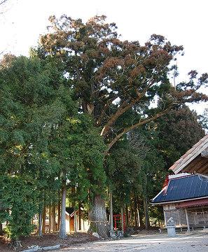 スギの巨木