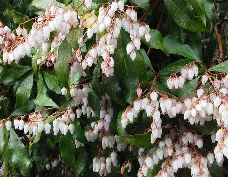咲いたアセビの花