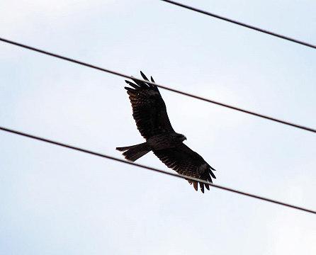 飛び立つトビ