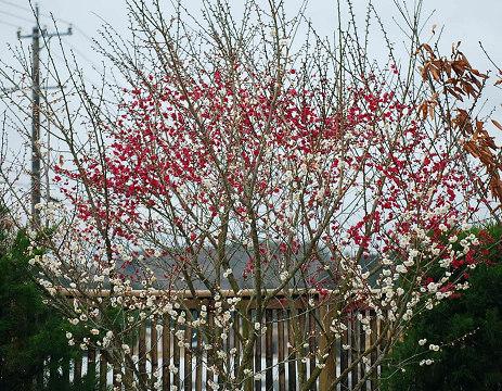 真っ盛りの紅梅と白梅