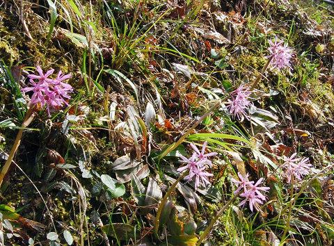 ショウジョウバカマの開花
