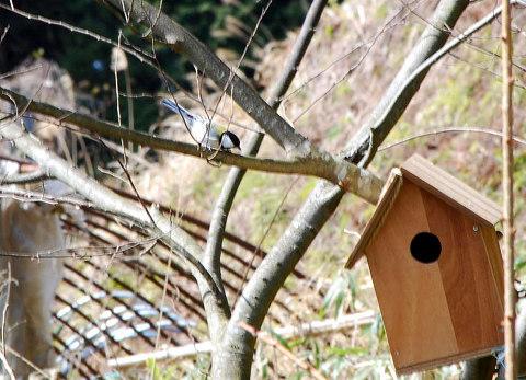 新しい巣箱にシジュウカラが