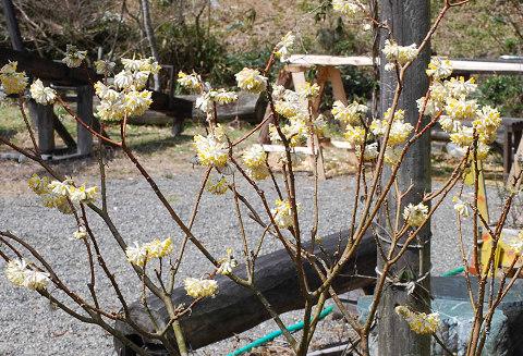 ミツマタの開花