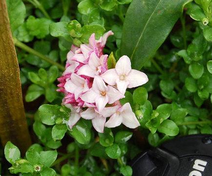 ジンチョウゲ開花