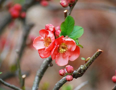 ボケの花アップ