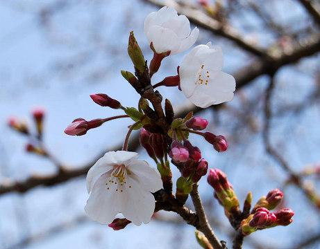 高根小学校の桜